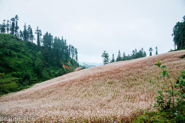 Được biết cánh đồng hoa nơi đây do người dân bản địa trồng và thu phí khách du lịch mỗi người 20 nghìn đồng/ lượt tham quan.