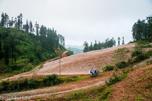 Ở Lào Cai, ngoài cánh đồng hoa ở huyện Si Ma Cai, tam giác mạch còn mọc khá nhiều ở huyện Bắc Hà. Ảnh: Nguyễn Hoàng Long