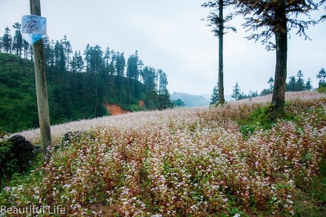 Những cánh đồng hoa tam giác mạch trải dài nơi sườn núi. Ảnh: Nguyễn Hoàng Long