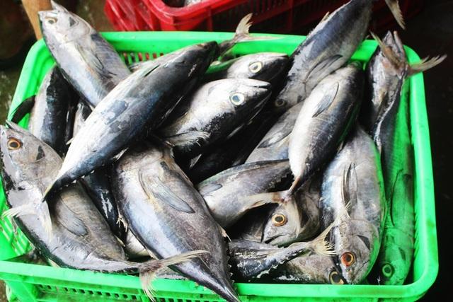 Ngư dân liên tiếp thua lỗ vì cá ngừ đại dương ở Trường Sa mất mùa - 3