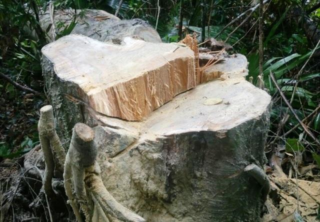 Những gốc cây bị khai thác còn tươi mới