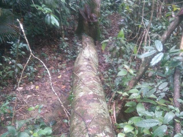 Có những cây còn nằm lại trong rừng