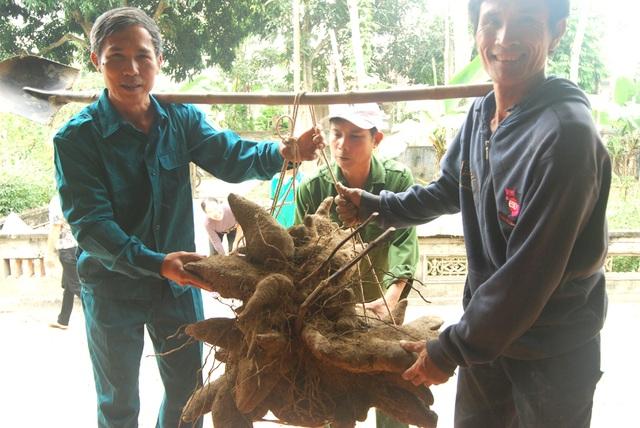 Củ khoai vạc rồng khi mới được đào lên nặng tới 75kg
