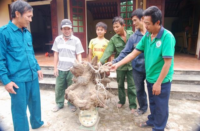 Củ khoai vạc rồng khổng lồ nặng 75kg - 2