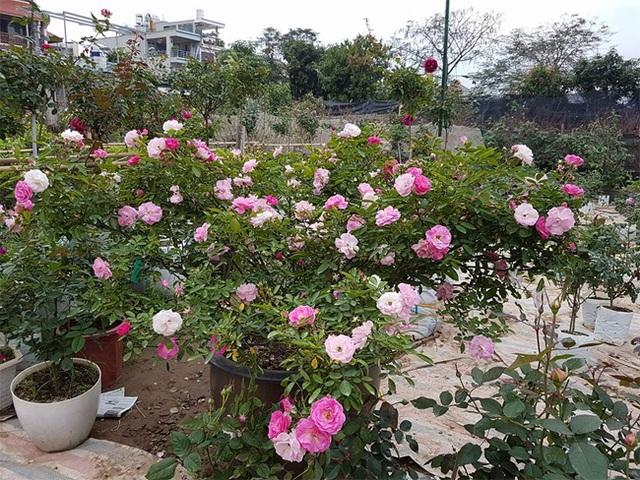 Khu vườn này có hàng trăm loại hoa hồng ngoại nổi tiếng khắp thế giới. (Ảnh: Danviet)