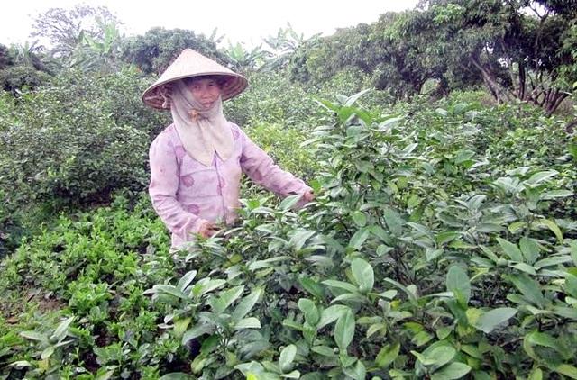Hái lá chanh xuất khẩu sang Tây cũng thua về cả triệu đô USD