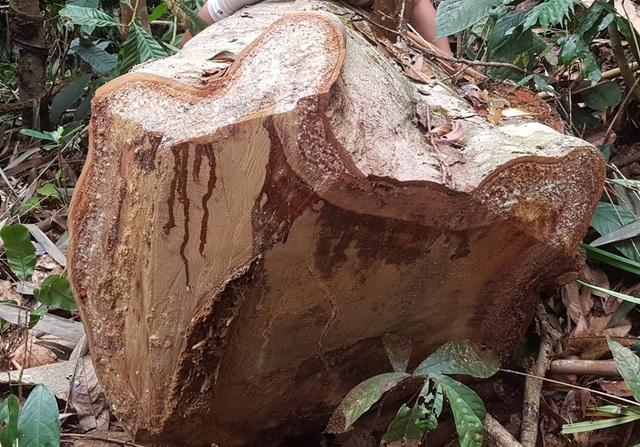 Có những cây gỗ đường kính lên đến hơn 50cm