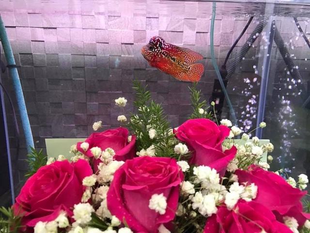 Bó hoa và con cá la hán là món quà ngộ nghĩnh mà diễn viên Lê Khánh đã hài hước tặng cho ông xã Tuấn Khải của mình.