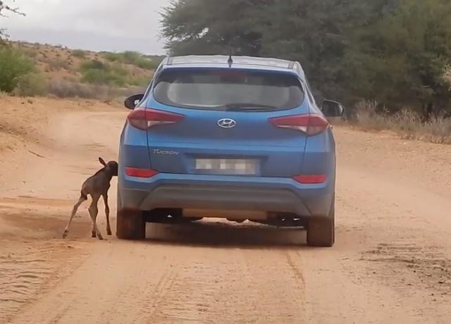 Chú linh dương đầu bò con đang cố gắng tìm cách bú sữa từ... lốp xe