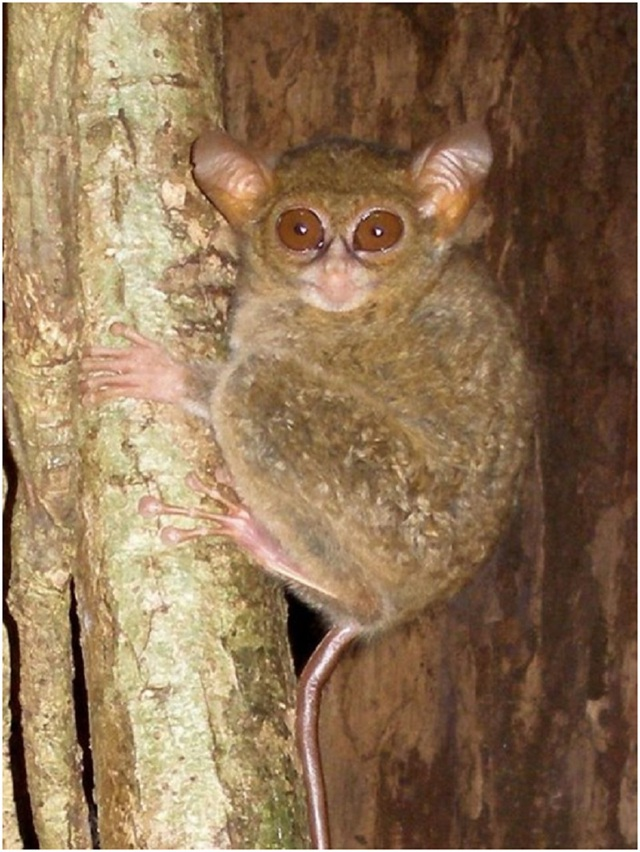 Loài khỉ Tarsius spectrumgurskyae mới được phát hiện đeo bám trên thân cây tại khu rừng phía đông bắc đảo Sulawesi, Indonesia.