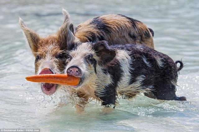Hai con lợn tranh giành nhau một củ cà rốt trong cuộc chiến đồ ăn không khoan nhượng