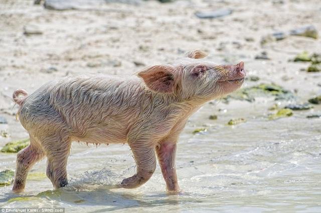 Bầy lợn vẫn tiếp tục sinh thêm những con lợn con
