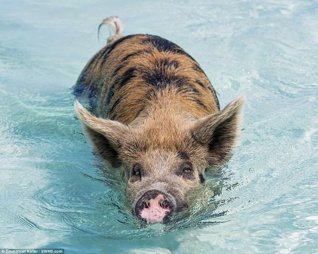 Chúng bơi thoăn thoắt dưới nước không kém gì siêu kình ngư