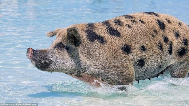 Đàn lợn biết bơi nổi tiếng ở Bahamas kéo du khách đến với hòn đảo vắng