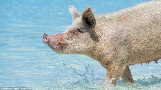 Hiện đàn lợn vô chủ này mới là cư dân chính trên đảo