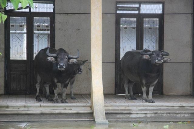 Gia súc của người dân được di chuyển đến khu vực cao ráo