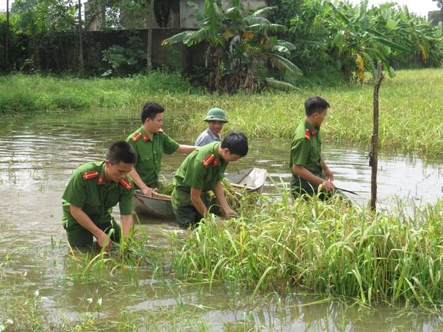 Lực lượng Công an thu hoạch giúp bà con trong những ngày mưa lũ