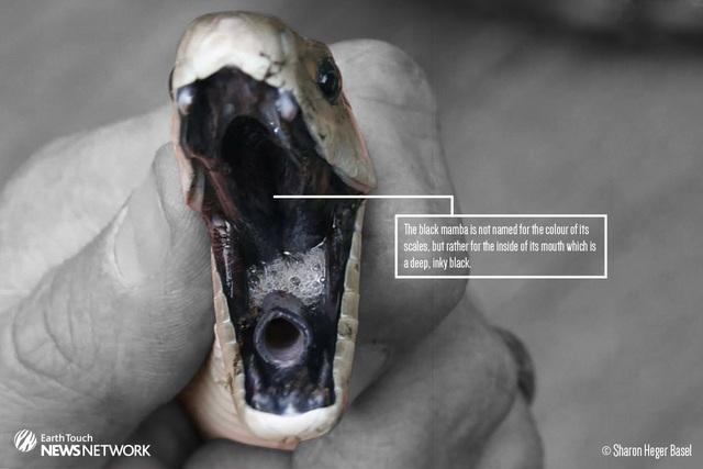 Cái tên rắn mamba đen bắt nguồn từ miệng rắn phủ kín một màu đen.