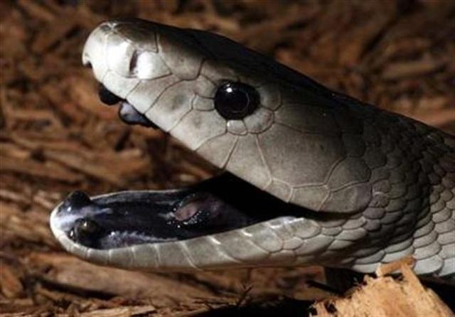 Rắn Mamba đen được coi là loài rắn nguy hiểm nhất thế giới.