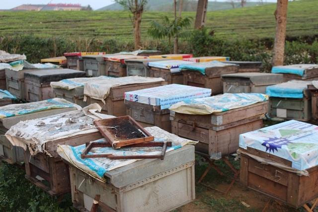 Vào thời điểm này, trên cao nguyên Mộc Châu phải có đến gần 100 trại lớn nhỏ, có trại nuôi đến 200, 300 đàn ong.