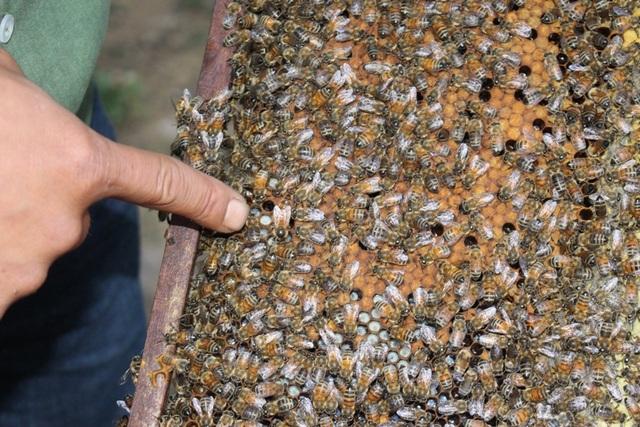 Mỗi một thùng có một con ong chúa. Ong chúa nó to hơn hẳn ong thợ và có màu đậm hơn, làm nhiệm vụ sinh sản và điều hành toàn bộ tổ. Việc giao phối của ong chúa được thực hiện ngay từ khi người nuôi tạo xong ong. Sau lần đó, ong chúa không bao giờ ra khỏi tổ, trừ khi nó chết. Nếu ong chúa ra khỏi tổ, toàn bộ đàn ong cũng sẽ bay theo. Sau mỗi mùa nhãn, người nuôi ong sẽ thay ong chúa một lần.