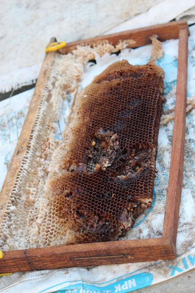 Tấm bánh tổ (cầu) trước hết được người nuôi xây nền, căng dây thép. Ban đầu, tấm bánh tổ chỉ mỏng như tờ giấy, nhưng sau đó ong tự xây tiếp thành tấm to, dày.