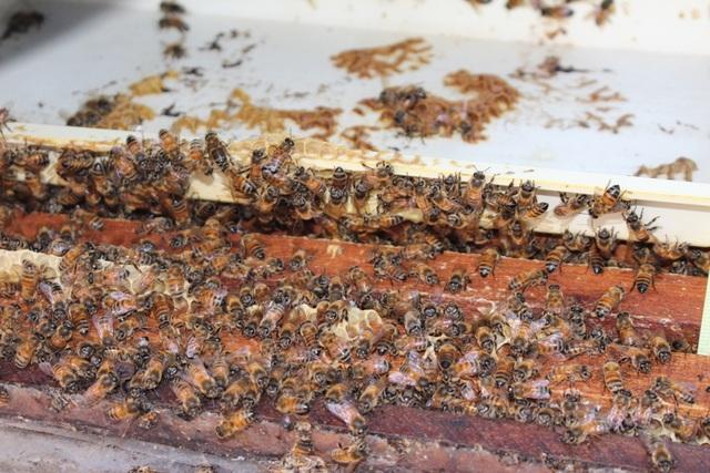 Có 4 mùa khai thác mật ong, tùy theo từng loài cây có trong thiên nhiên. Khoảng thời gian đầu năm, người nuôi ong sử dụng hoa cỏ lào (dân gian gọi là cây chó đẻ). Loài hoa này có màu tím, mọc sát dưới đất, xuất hiện nhiều vào tháng 12, nhất là dịp cận Tết. Loài hoa này tiết ra khá nhiều mật, là loại thức ăn lí tưởng cho ong. Người nuôi ong phải đi lấy hoa từ tháng 12 và tích trữ để làm nguồn thức ăn.