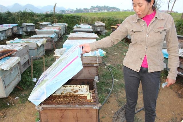 Gia đình chị Nguyên Sơn có 120 đàn ong, nuôi gần nông trường Mộc Châu. Chị cho biết, nguồn mật thu được theo từng vụ không cố định, còn phụ thuộc vào số lượng và chất lượng thức ăn. Tuy nhiên, lợi nhuận thu được từ việc nuôi ong là khá tốt. Nhiều hộ gia đình có quy mô lớn có thể thu lãi hàng tỷ đồng mỗi mùa.