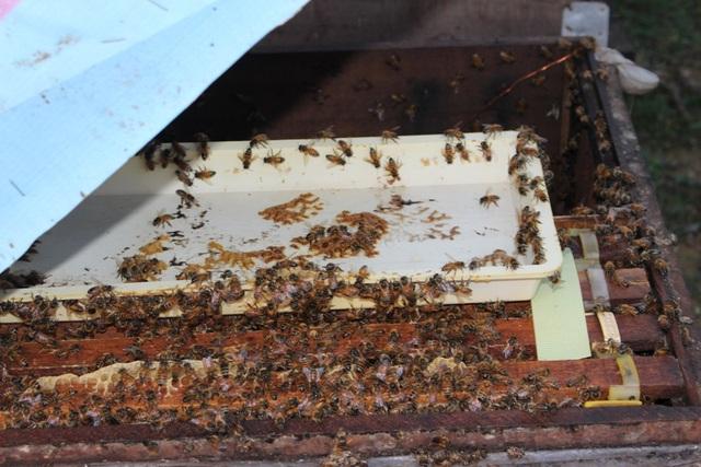 """Mùa đông ong ở yên trong nhà của chúng. Còn mùa hè, ban ngày ong bay đi khắp nơi tự thụ phấn. Đến tối, chúng lại kéo nhau trở về đúng tổ của mình. Nếu """"lạc"""" sang đàn khác, con ong đó sẽ bị cắn chết."""
