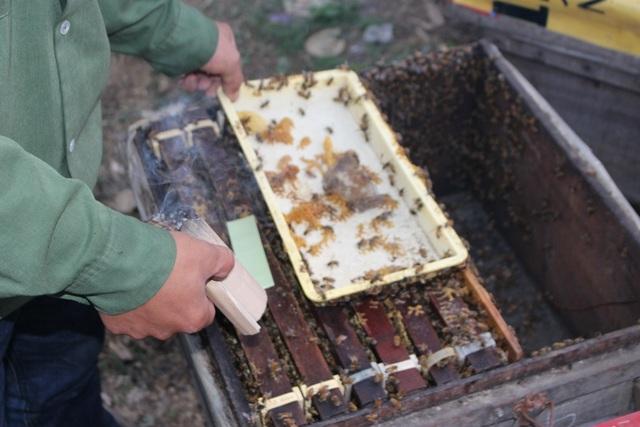 """""""Tuy nhiên, cái ngọt của đường khác với cái ngọt tự nhiên của hoa, nên chúng tôi cũng không dám thúc cho ong ăn đường nhiều. Cho ong ăn đường chỉ với mục đích nuôi sống ong chứ không thể thu được mật"""", chị Nguyên Sơn chia sẻ kinh nghiệm. Trong ảnh, người thợ đang hun khói để đuổi bớt ong đi."""