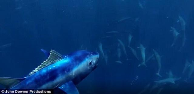Rô-bốt cá ngừ đã quay phim một đàn cá heo cực lớn đang săn cá lồng đèn trong khi trốn tránh một con cá đuối khổng lồ