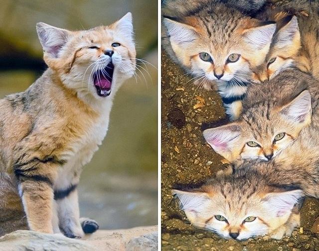 Những giống mèo siêu hiếm trên thế giới - 10