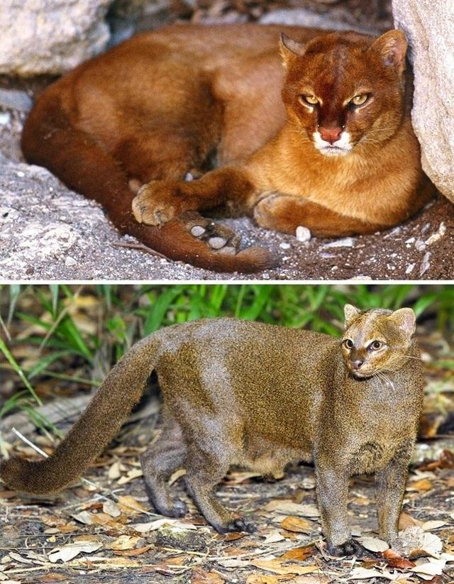 Những giống mèo siêu hiếm trên thế giới - 4