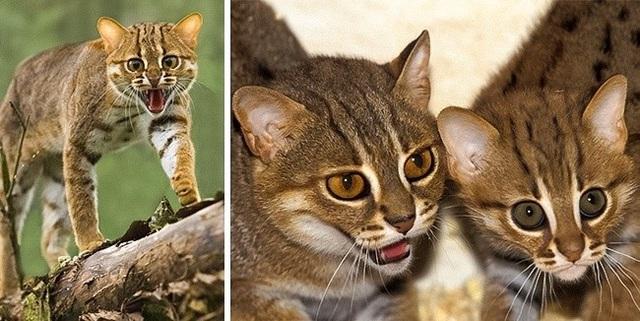 Những giống mèo siêu hiếm trên thế giới - 7