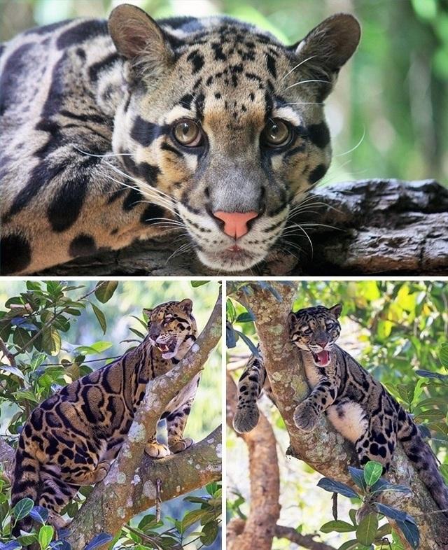 Những giống mèo siêu hiếm trên thế giới - 8