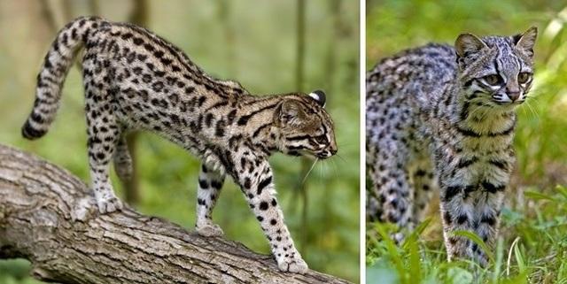 Những giống mèo siêu hiếm trên thế giới - 9