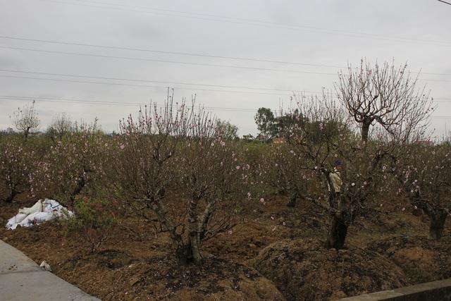 Không khí lạnh tràn về hãm hoa đào nở khiến người trồng đào mừng rỡ