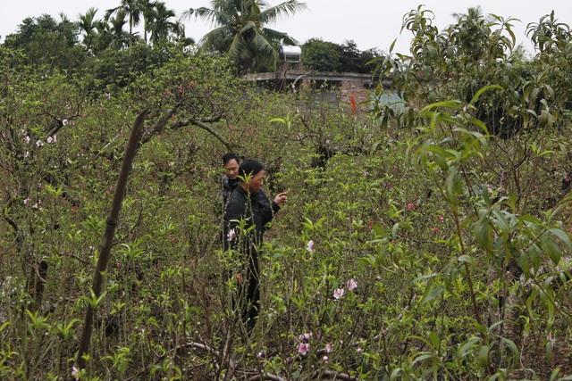 Khách mua đã bắt đầu tìm đến thủ phủ đào Đặng Cương