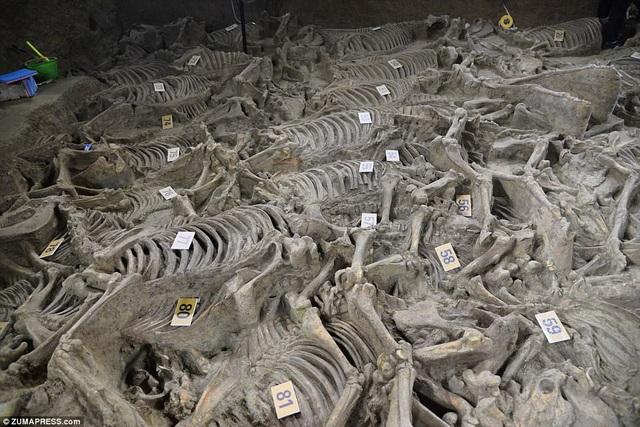 Những bộ xương ngựa được đánh số