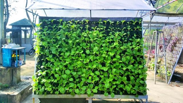 Với diện tích rất nhỏ nhưng vườn treo có thể trồng được rất nhiều rau sạch, rau phát triển rất tốt