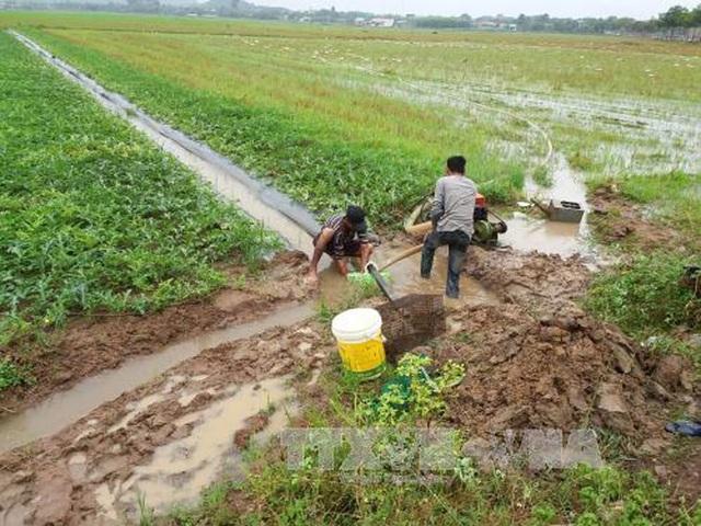 Người dân tại Bà Rịa-Vũng Tàu bơm nước cứu ruộng dưa hấu bị ngập trong nước. (Ảnh chụp chiều15/1). Ảnh: Hoàng Nhị/TTXVN