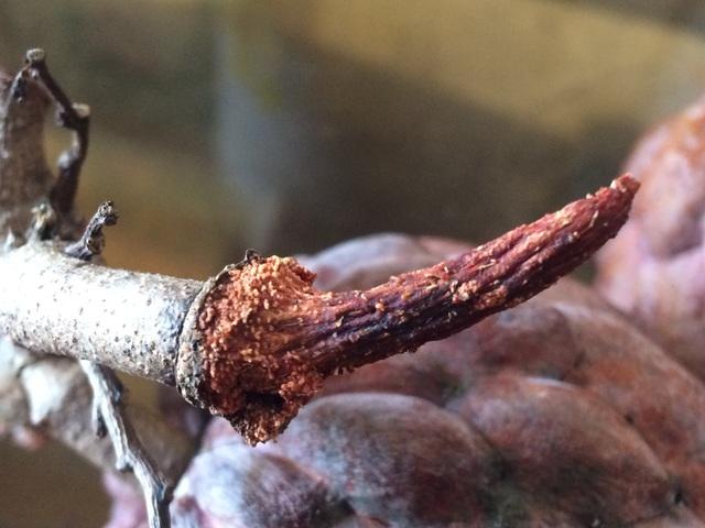Cành và cuống na đều có màu tím