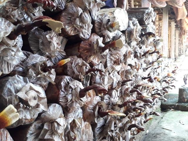 Theo anh Nguyên, trồng nấm trên thân gỗ là một phương pháp khá mới lạ tại địa phương