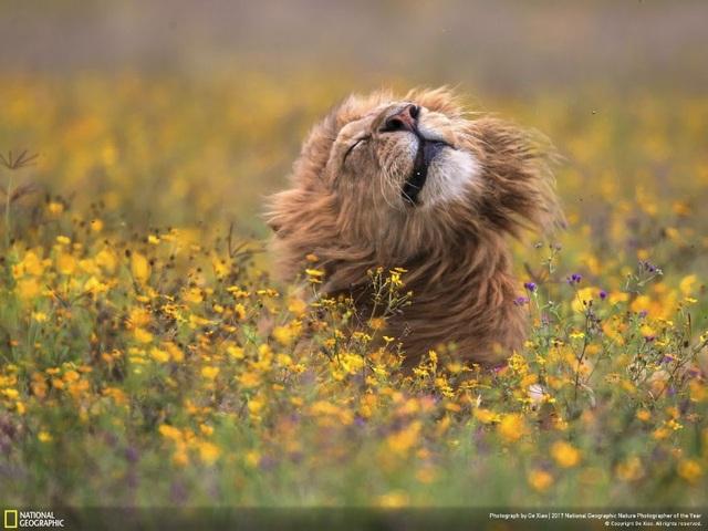 Sư tử trên thảm hoa ủa tác giả Ge Xiao.