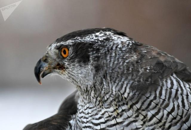 Thông thường, các chú chim ưng chỉ có nhiệm vụ đuổi quạ đi, chúng sẽ không làm quạ bị thương. Và chúng hoạt động khá hiệu quả.