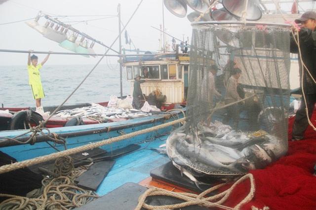 Giữa tháng 3/2017, một ngư dân ở Quảng Trị đã trúng mẻ cá khủng 150 tấn (Ảnh: Đăng Đức).