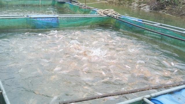 Mỗi ô sau 6 tháng nuôi có tầm ít nhất 1,5 tấn cá với hơn 2.000 nghìn con