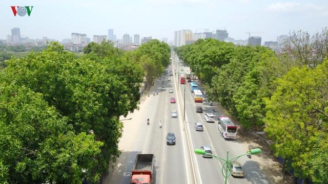 Mới đây tại Hà Nội đang có đề xuất chặt hạ, đánh chuyển khoảng 1.300 cây xà cừ... trên đường Phạm Văn Đồng...