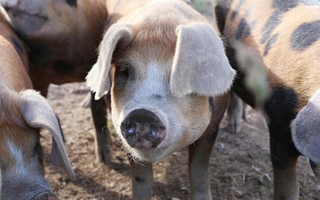 Nghiên cứu mới mở ra triển vọng cấy ghép nội tạng lợn cho người - 1