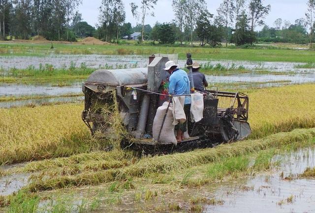 Đối với những diện tích lúa đến kỳ thu hoạch bà con đang khẩn trương gặt lúa